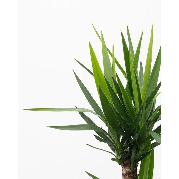 Yucca Elephantipes 2-stam - hydrocultuur