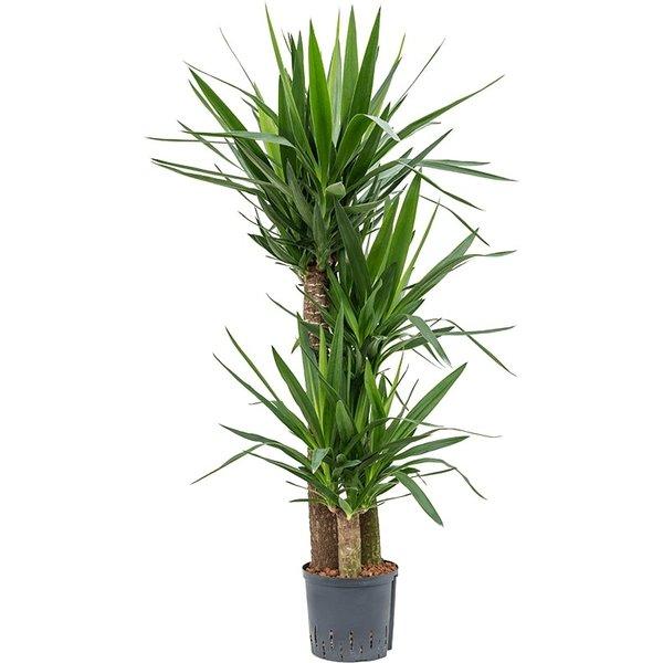 Yucca Elephantipes 3-stam - hydrocultuur