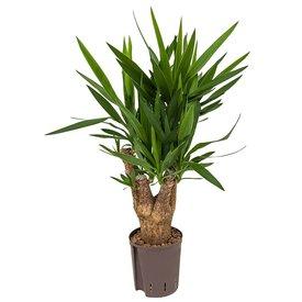 Fleur.nl - Yucca vertakt - hydrocultuur