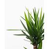 Yucca Elephantipes vertakt - hydrocultuur