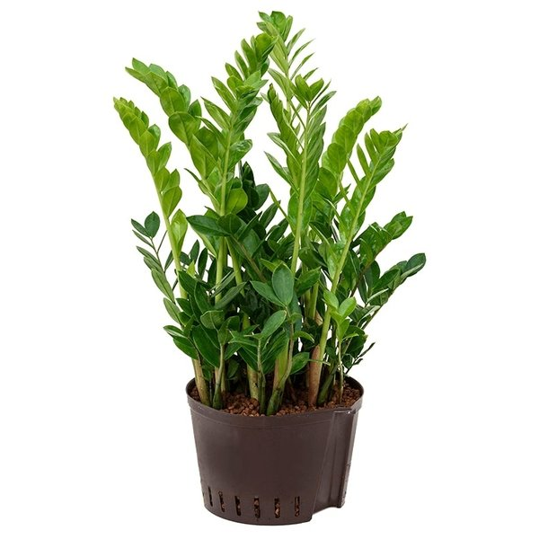 Zamioculcas Zamiifolia - hydrocultuur