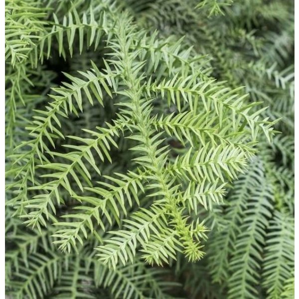 Araucaria cunninghamii - hydrocultuur