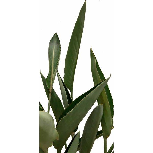 Strelitzia Reginae - hydrocultuur