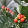 Coffea Arabica - kunstplant