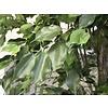 Ficus Exotica de Luxe - kunstplant