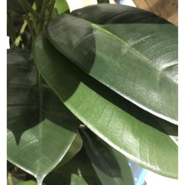Ficus Elastica - kunstplant