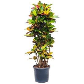 Fleur.nl - Croton struik Codiaeum XL