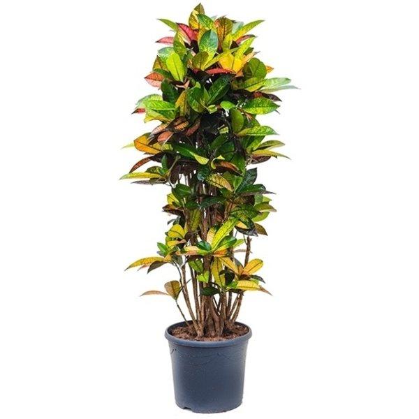 Croton struik Codiaeum XL