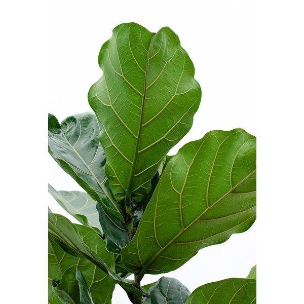Lechuza Ficus lyrata tabaksplant  in watergevende pot Classico