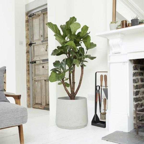 Ficus Lyrata Vertakt in pot Patt