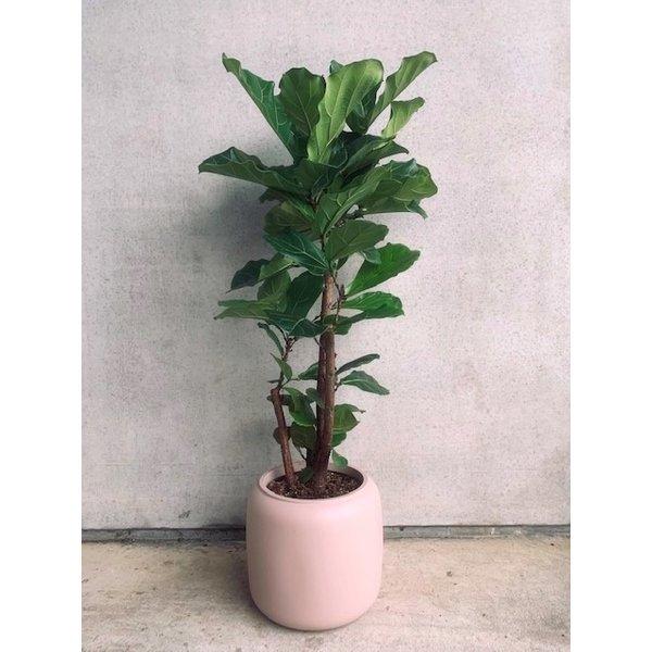 Ficus Lyrata vertakt Elho pot