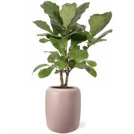 Fleur.nl - Ficus Lyrata in pot Beads