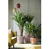 Yucca Elephantipes op stam vertakt XXL