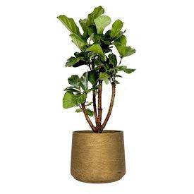 Fleur.nl - Ficus Lyrata vertakt in pot Patt