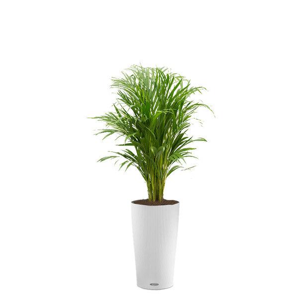 Lechuza Palm Areca in watergevende pot Cilindro