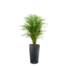 Fleur.nl -Lechuza Palm Areca in watergevende pot Cilindro