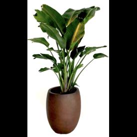 Fleur.nl - Strelitzia Nicolai Large in pot Luca