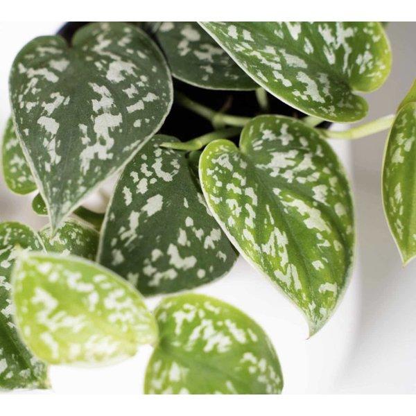 Scindapsus Pictus hangplant large