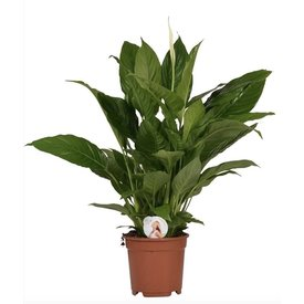 Fleur.nl - Spathiphyllum Medium