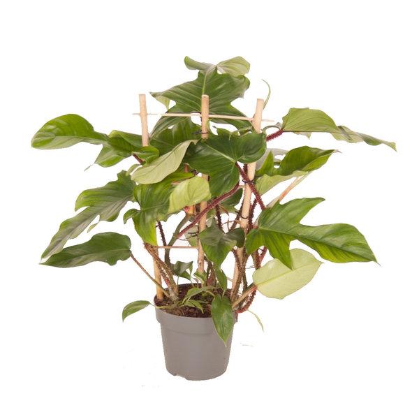 Philodendron Pedatum Red squamiferum bush