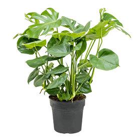 Fleur.nl - Monstera Gatenplant Struik Large