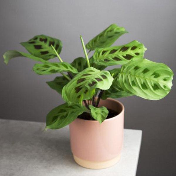 Maranta Leuconeura 'Kerchoveana' (Gebedsplant)