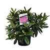Rhododendron 'Azurro'