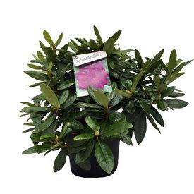 Fleur.nl - Rhododendron 'Azurro'