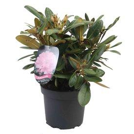 Fleur.nl - Rhododendron 'Silberwolke'