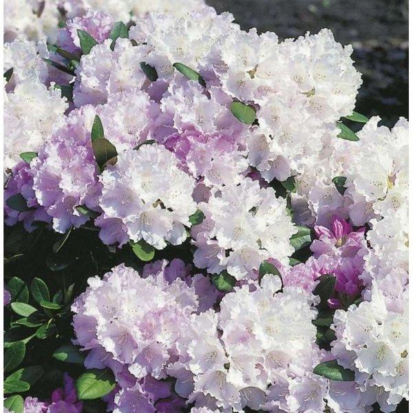 Rhododendron 'Silberwolke'