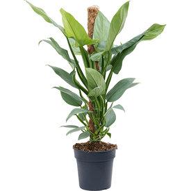 Fleur.nl - Philodendron 'Silver Queen' mosstok
