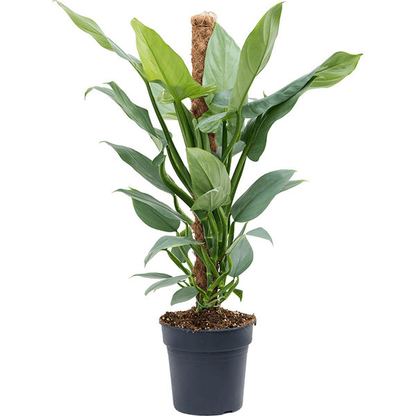 Philodendron Silver Queen mosstok