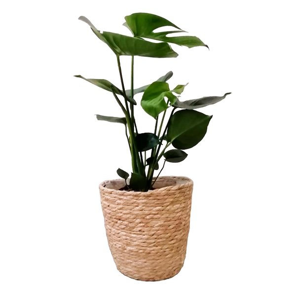 Monstera Gatenplant in Mand