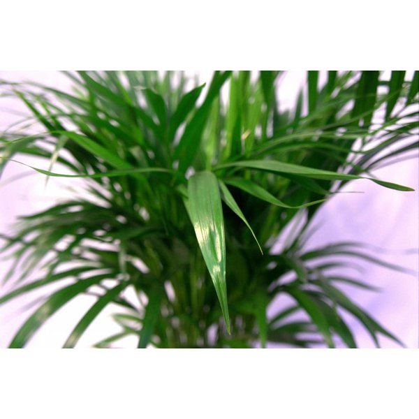 Areca Palm Small in Mand