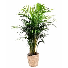 Fleur.nl - Areca Palm Small in Mand