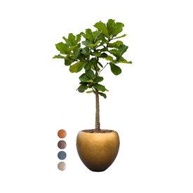 Fleur.nl - Ficus Lyrata op Stam  in Pot Metallic Leaf