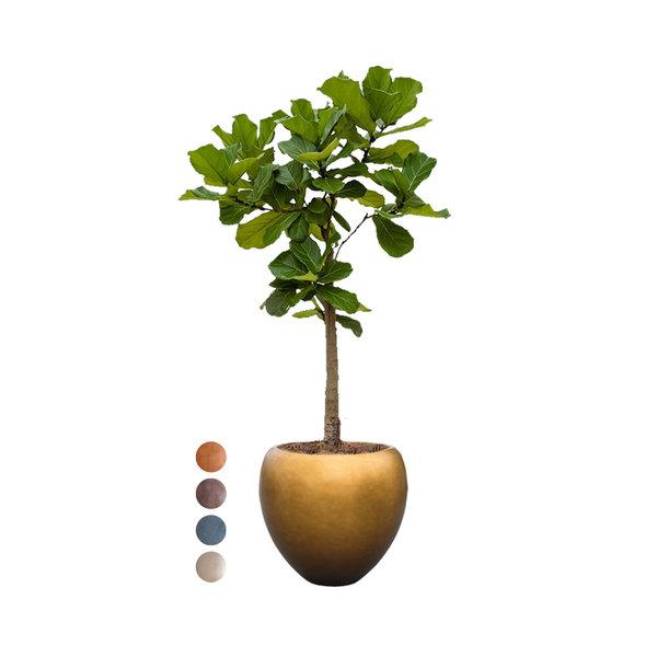 Ficus Lyrata op Stam  in Pot Metallic Leaf