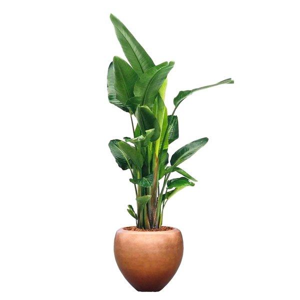 Strelitzia Nicolai  in pot metallic leaf