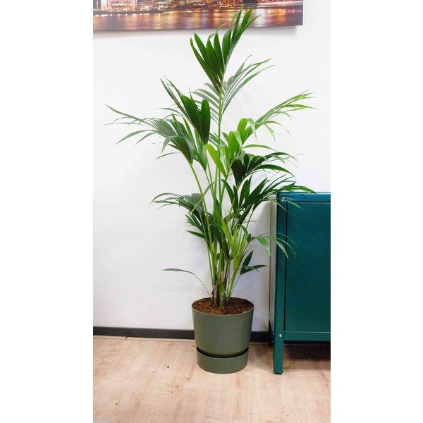 Kentia Palm large in Pot Greenville