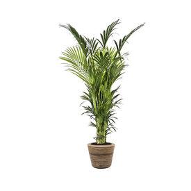 Fleur.nl - Kentia Palm XXL in Drypot Rattan