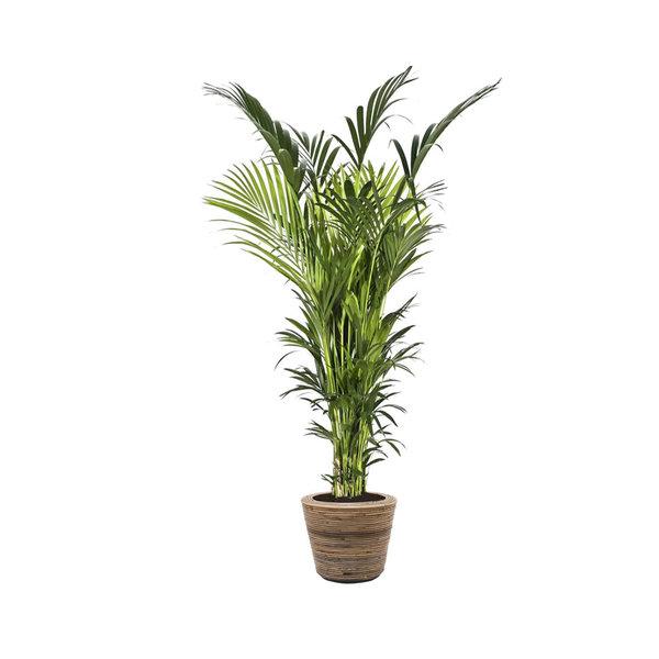 Kentia Palm XXL in Drypot Rattan