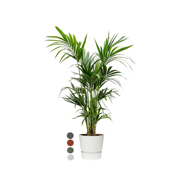 Kentia Palm large in Pot Greenville Ø 30