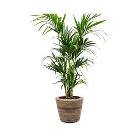 Fleur.nl - Kentia Palm Large in Drypot Rattan