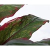 Cordyline Green/Red - kunstplant