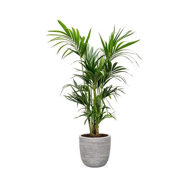 Kentia Palm Large in Capi Rib Urban Egg Planter