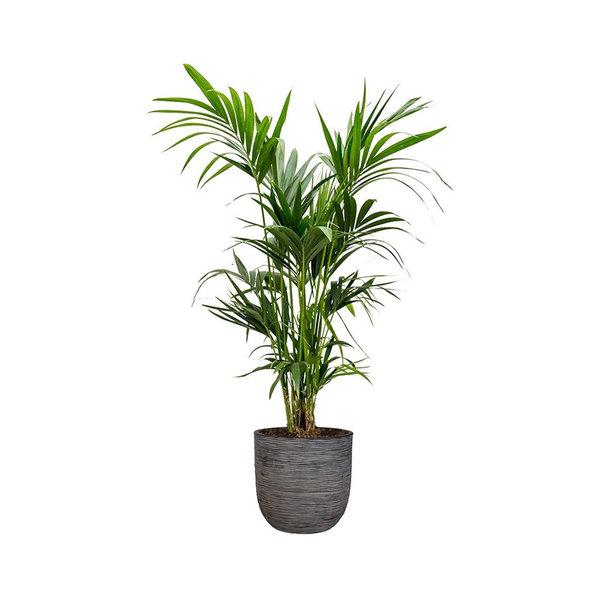 Kentia Palm Large in Capi Rib Urban Egg  Ø 35 cm