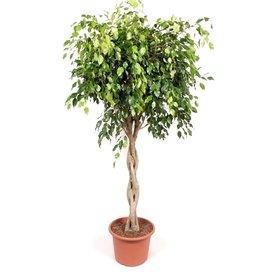 Fleur.nl - Ficus Exotica Benjamina gevlochten XL