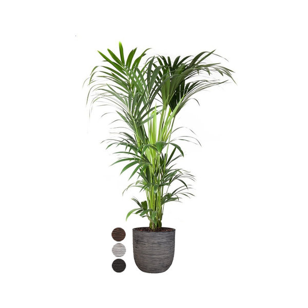 Kentia Palm XXL in Capi Rib Urban Egg Ø 35 cm