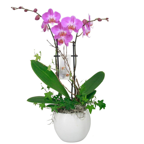 Orchidee Pink in pot Botanic White