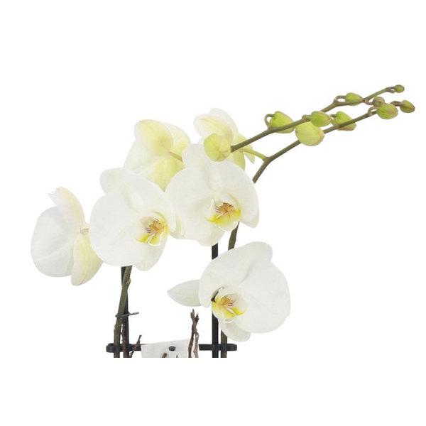 Orchidee White in pot Botanic Green